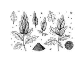 Set of hand drawn quinoa design elements isolated on white background. Vector illustration in sketch style