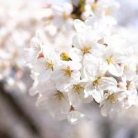Japanese peach tree blossom in daylight photo