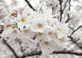Beautiful white peach tree blossom photo