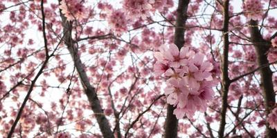 Beautiful pink peach tree blossom photo