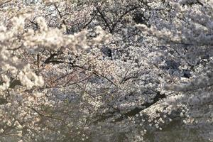 Beautiful peach tree blossom in daylight photo