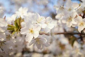 Beautiful peach tree blossom photo