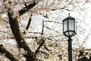 White peach tree blossom next to lamp post photo