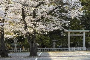 Beautiful peach tree blossom in Tokyo, Japan photo