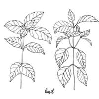Basil vector drawing set. Herbal engraved style illustration. Cooking spicy ingredient.