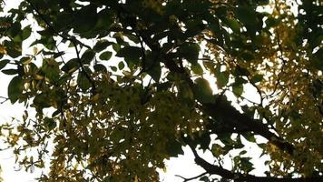 The Sun Shines Through the Leaves and The Fabaceae's Flowers video