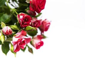 Red roses on white photo