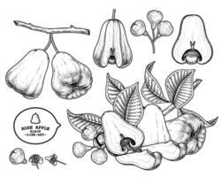 Set of Rose apple fruit hand drawn elements botanical illustration vector