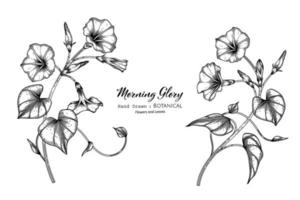 Morning glory flower and leaf hand drawn botanical illustration with line art. vector