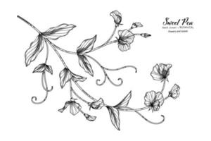 Sweet peas flower and leaf hand drawn botanical illustration with line art. vector