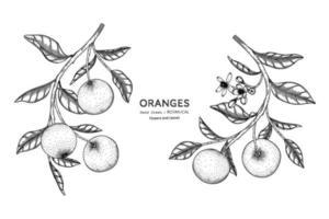 Oranges fruit hand drawn botanical illustration with line art. vector