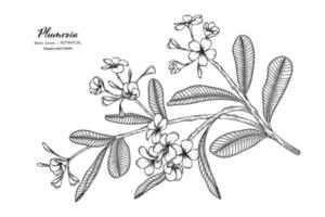 Plumeria flower and leaf hand drawn botanical illustration with line art. vector