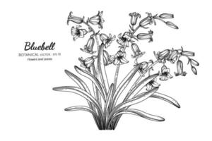 Bluebell flower and leaf hand drawn botanical illustration with line art. vector