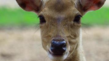 Closeup of a Deer in Nature video
