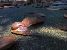 Close up of snail crawling on wet concrete floor with dried leaves and sunshine. photo