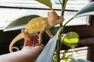 Chameleon on a hand photo