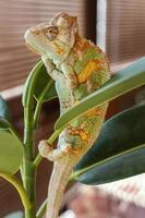 Chameleon on plant photo