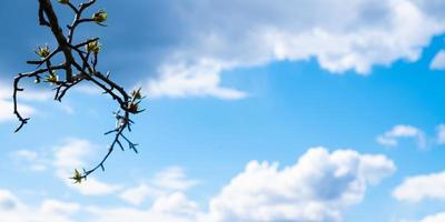 spring leaves blooming on a branch against a blue sky with white clouds and copy space photo