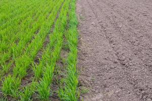 spring tillage of the field for sowing sowing crops,young wheat copy space photo
