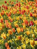 Tulipán brillante y pantalla de alhelí en un jardín. foto