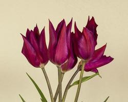 Beautiful purple tulips against a cream background photo