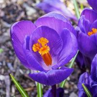azafrán violeta con estambres amarillos y anteras foto