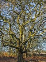 Old oak tree with bare winter branches photo