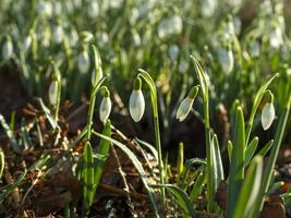 Snowdrops flowering in a wood photo