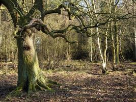 Bare winter trees in woods at Skipwith Common North Yorkshire England photo