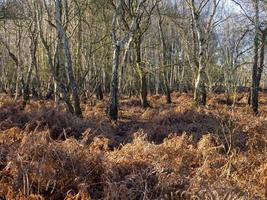 Winter bracken and trees at Skipwith Common North Yorkshire England photo