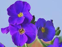 Closeup of Aubrieta flowers variety Glacier Blue photo
