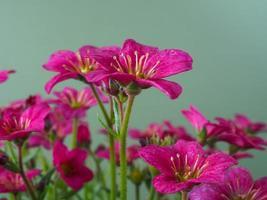 Variedad de flores de saxifrage alpino rosa temprano con un fondo liso foto