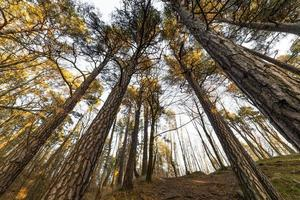 Bottom and wide angle view of tall pine trees canopy in summer forest photo