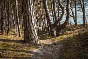 bosque de la costa del mar Báltico y dunas de arena con pinos foto