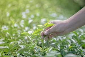 Closeup hand with picking fresh tea leaves in natural organic green tea farm photo