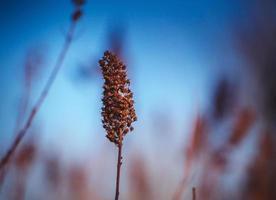 Flores secas en las ramas con el telón de fondo del cielo azul de primavera foto