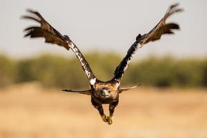 águila imperial española aquila adalberti foto