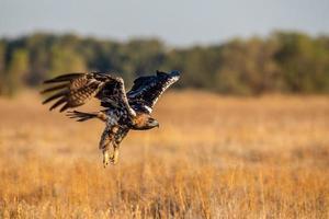 Spanish imperial eagle Aquila adalberti photo