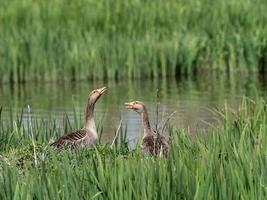 Greylag goose or graylag goose Anser anser photo