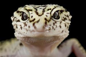 gecko de cola gorda iraní eublepharis angramainyu foto