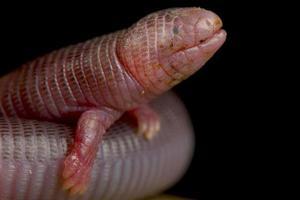 Four toed worm lizard         Bipes canaliculatis photo