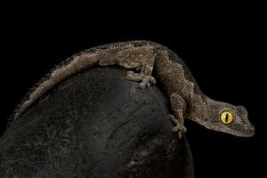 Western spiny tailed gecko         Strophurus spinigerus photo