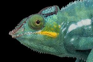 Panther chameleon    Furcifer pardalis photo