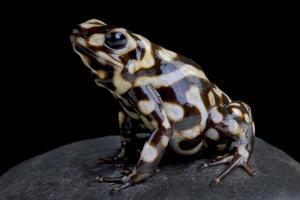 Poison arrow frog         Dendrobates auratus photo