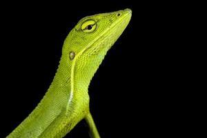 Vietnamese forest lizard     Bronchocela vietnamensis photo