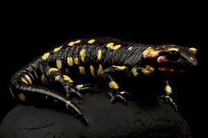 Portugese fire salamander  Salamandra salamandra gallaica photo