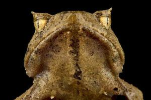 Perak horned frog   Xenophrys aceras photo