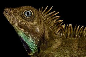 lagarto de cabeza angular de campana gonocephalus belli foto