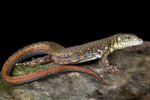Crocodile Tegu     Crocodilurus amazonicus photo