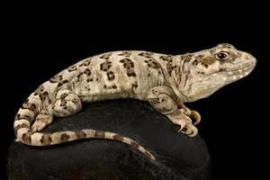 Six banded Patagonian lizard   Diplolaemus sexcinctus photo